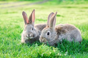 Pair of bonded rabbits in garden