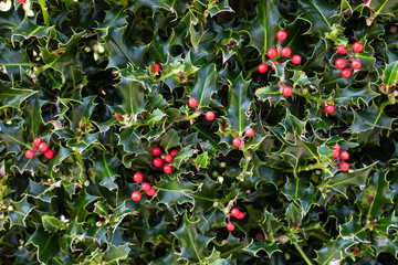 PET CHECK UK Holly with red berries poisonous to pets