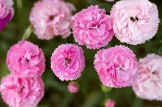 PET CHECK UK Carnation