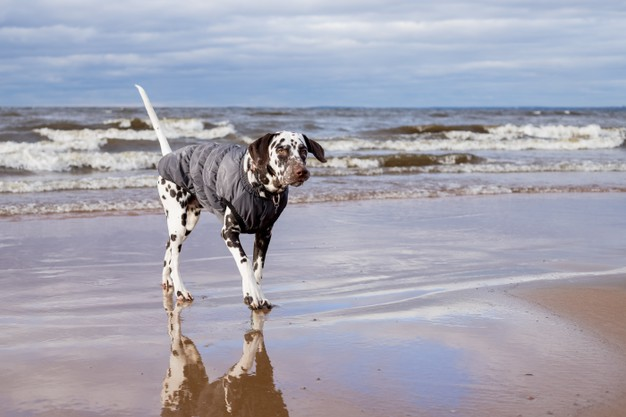 PET CHECK UK Dalmatian walking out of the sea on sand