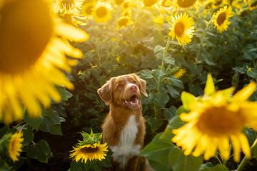 PET CHECK UK Dog sitting among sunflower