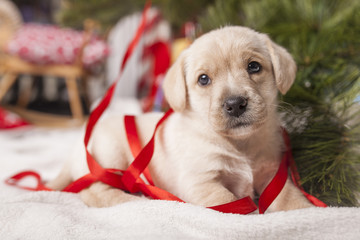 Labrador pup wrapped in ribbon