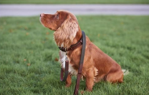 PET CHECK UK Dog wearing Barbour collar and lead