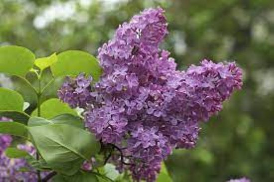 PET CHECK UK Lilac