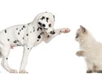 PET CHECK UK - playful dalmatian puppy dog and kitten