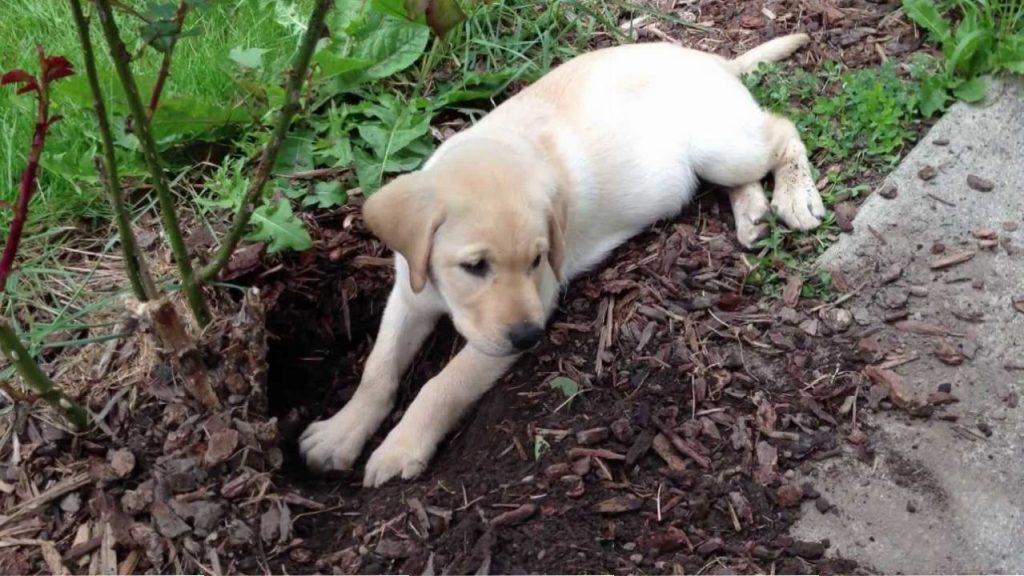 Labrador dog digging garden