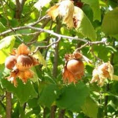 PET CHECK UK - Plant and Trees - Hazelnut tree