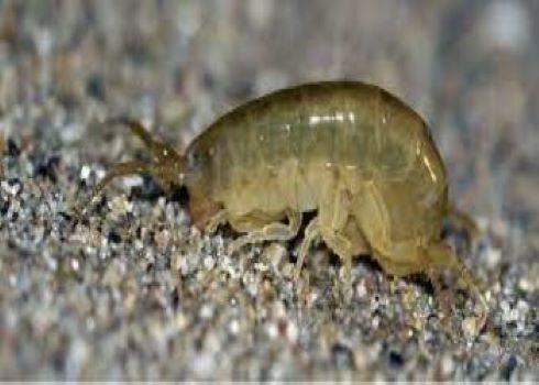 "PET CHECK UK - Coastal Information - Sand hopper ""flea"" found on beach close-up"