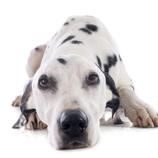 PET CHECK UK Dalmatian Dog lying down looking at camera