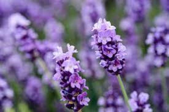 PET CHECK UK Lavender
