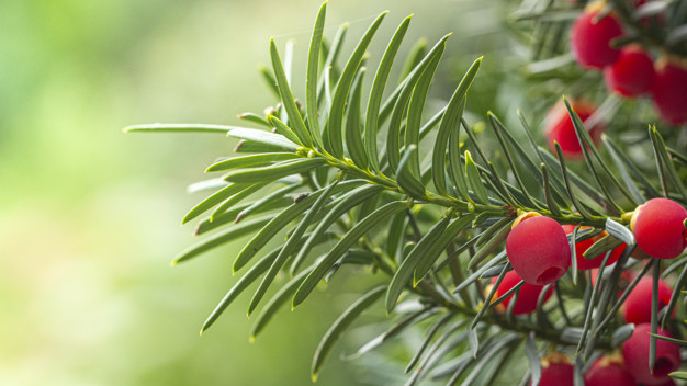 PET CHECK UK - Plant and Trees - Yew tree with red berries