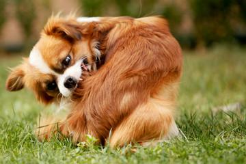 PET CHECK UK Dog biting itself with fleas