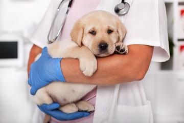 Labrador puppy at vet
