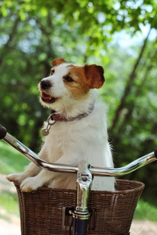 Dog sitting in cyclists front basket