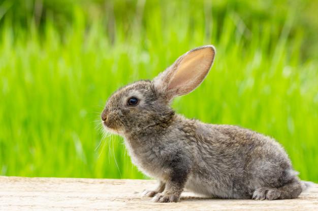grey rabbit outside