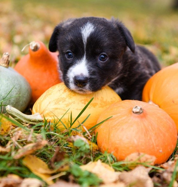 PET CHECK UK Puppy surrounded by pumpkins