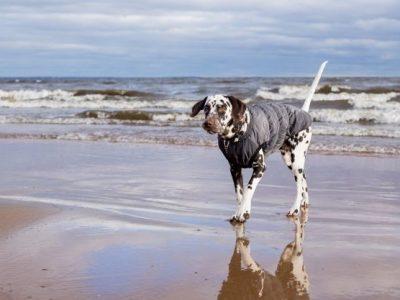 PET CHECK UK Dalmatian dog walking on beach