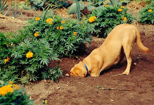 Dog digging garden
