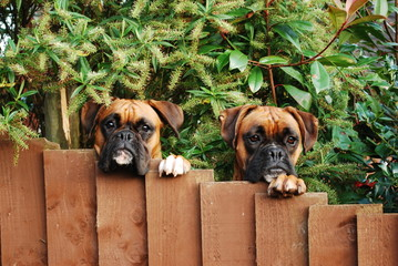 Dogs looking over garden fence