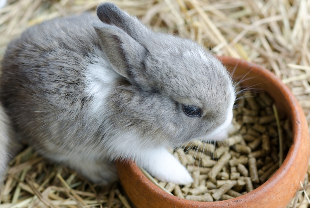 Baby rabbit eating pellets