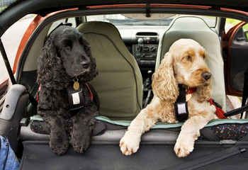 PET CHECK UK Dogs travelling in harnesses in a car