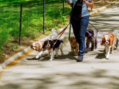 PET CHECK UK - Dog Walks - Dog Walker with 6 dogs